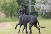foto of great dane  - Black Great Dane dogs are are playing at the lawn - JPG