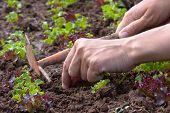 stock photo of weed  - hands weeding of lettuce in the vegetable garden - JPG