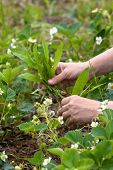 pic of weed  - hands weeding the strawberries in the garden - JPG