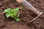 foto of hoe  - hilling potatoes with hoes in the garden - JPG