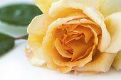 stock photo of buff  - rose buff beauty soft peach and apricot closeup shot  - JPG