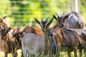 stock photo of pastures  - Herd of goats on pasture - JPG