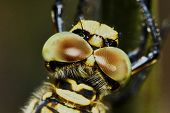 image of dragonflies  - The head of a dragonfly closeup  - JPG
