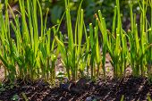 picture of chive  - Green chive growing in ecologic garden - JPG