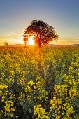 pic of rape  - Rape field with hide for hunting and sun - JPG