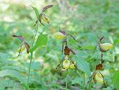 picture of yellow orchid  - Group of many yellow and brown Lady - JPG
