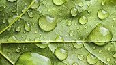 foto of raindrops  - Macro view of raindrops on a large vibrant green leaf shallow DOF - JPG
