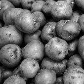 foto of solanum tuberosum  - Background of many red potatoes together in square size - JPG