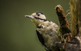 image of woodpecker  - Great spotted woodpecker, Dendrocopos  major, perched on a tree trunk ** Note: Visible grain at 100%, best at smaller sizes - JPG