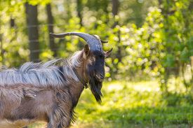 stock photo of goat horns  - Beautiful portrait of goat male on pasture - JPG