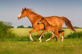 foto of colt  - Mare run with colt in beautiful field at sunrise - JPG