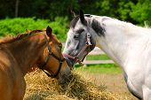 foto of horses eating  - Two horses feeding at the runch on bright summer day closeup - JPG