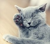 Young cute cat washing his fur. The British Shorthair pedigreed kitten with blue gray fur poster