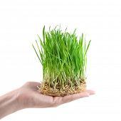 Постер, плакат: человеческой рукой придерживая зеленая трава на белом
