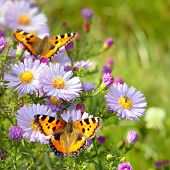 pic of butterfly flowers  - two butterfly on flowers - JPG
