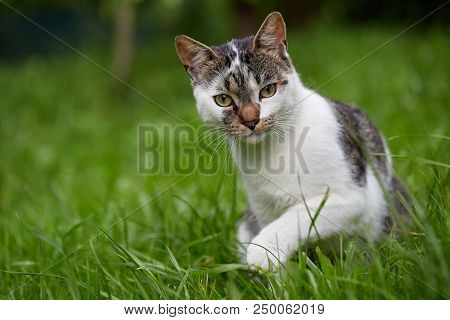 poster of Cute cat looking at camera. Natural light. Domestic cat in the grass.