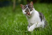 Cute cat looking at camera. Natural light. Domestic cat in the grass.  poster