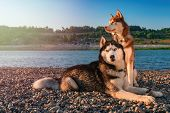 Two Siberian Husky Dogs Sits On Shore Against Background Calm River In Warm Evening Light. Copy Spac poster