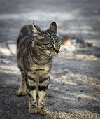 Street Young Gray Tabby Cat Walking Along The Street In The Summer Day poster