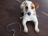 Dog chewed the wires. Naughty dog bully at home poster