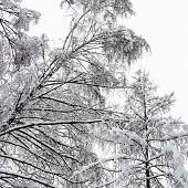 Bottom View Of Snow-covered Birch And Larch Trees In Forest Of Timiryazevskiy Park Of Moscow City In poster