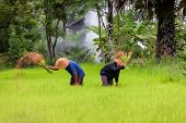 Farmer Are Planting Rice In The Rainy Season,asia Farmer Transplanted Rice Seedlings To Be Sent For  poster