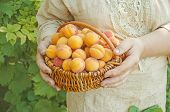 Apricots On Nature Background. Fresh Apricots In The Basket. poster