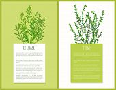 Rosemary And Thyme Herbs Template, Vector Cards, Illustration With Species Plants, Greenery Herb, Sp poster