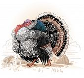 stock photo of turkey-hen  - Turkey - JPG