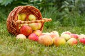 Red Apples In A Wicker Basket And On Green Grass In The Orchard. Fresh Ripe Apples In The Summer Gar poster