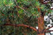 Pine Tree And Pine Cone. Pine Branches Blurred Background. Bokeh poster