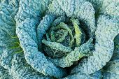 Soft Focus Of Big Cabbage In The Garden. Autumn Harvest. Vegetables In Nature. Gardening And Cultiva poster