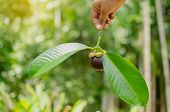 The Hand Of A Man Holding A Single Mangosteen Isolated On A Black Background. Mangosteen On The Hand poster