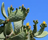 stock photo of nopal  - Chumbera nopal cactus plant with flowers at Santorini Greece - JPG