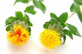 Top view of two safflower flowers