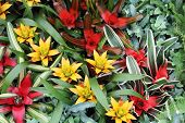 image of tillandsia  - Yellow and red flowers guzmania beautiful green leaves - JPG