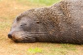 New Zealand fur seal Arctocephalus forsteri naps