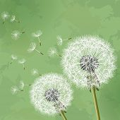 image of dandelion seed  - Floral vintage background green with two flowers dandelions - JPG