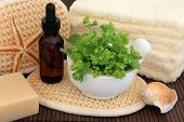 Ladies mantle herb leaf sprigs with aromatherapy essential oil bottle and spa accessories. Alchemill