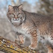 image of wildcat  - Bobcat  - JPG