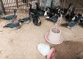 picture of crested duck  - Duck coop in the small farm of Thai farmer - JPG
