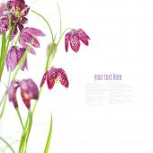 Snake's Head Fritillary (Fritillaria meleagris) over white (with easy removable text)