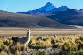 picture of lamas  - Lama in mountains  - JPG