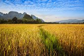 Beautiful golden and green Rice field with mountain in Vang Vieng Laos.