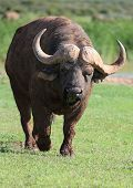 image of cape buffalo  - Huge angry and annoyed Cape buffalo bull - JPG