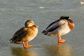 A pair of mallard ducks asleep on the ice
