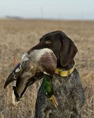 pic of pintail  - A hunters dog with a drake Mallard