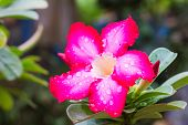 pic of desert-rose  - Adenium Obesum or desert rose flower and leaves - JPG