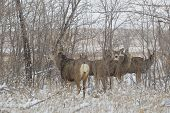 stock photo of mule deer  - a big mule deer buck with does during the rut - JPG