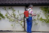 image of pest control  - a gardener sprays his peach trees as the first leaves appear - JPG